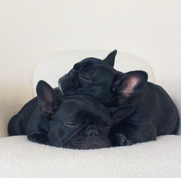 Frenchie Puppy Pile