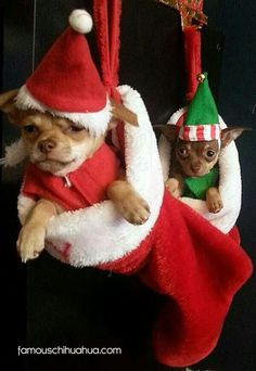Chihuahuas in stocking